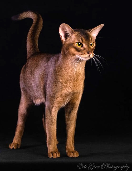 Rudy Abyssinian Cat